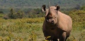 Black Rhino - animals under threat. (c) ZSL